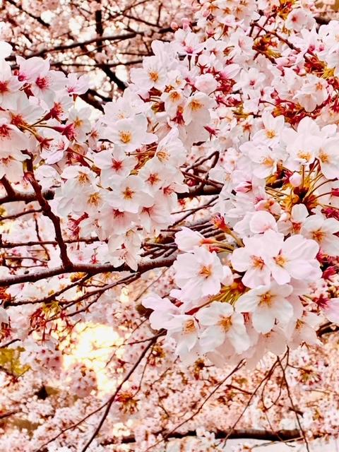 桜 花びら.jpeg